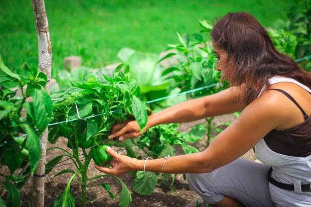 A lady harvesting sweet peppers