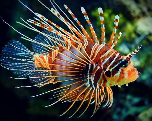 Lion Fish. fishing in belize