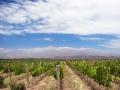 A vineyard in Mendoza.