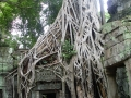 Tree roots grow over the Ta Phrom temple in Cambodia.
