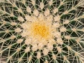 A cactus flower, Chile.