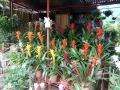 Tropical plants for sale in the Philippines.