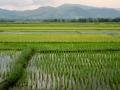 Rice paddies, Philippines.