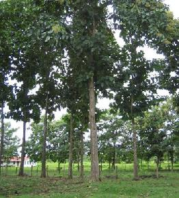 Teak Reforestation in Panama