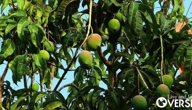 Mango Plantation In Panama