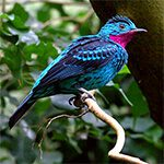 a bright blue with pink crest sspangled cotinga bird