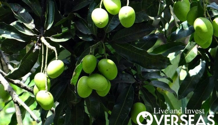 Mango Plantation Investment Opportunity