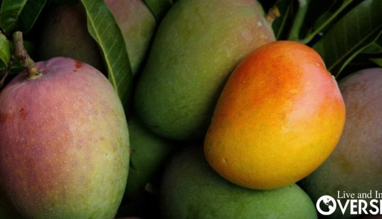 Organic mangos on a tree