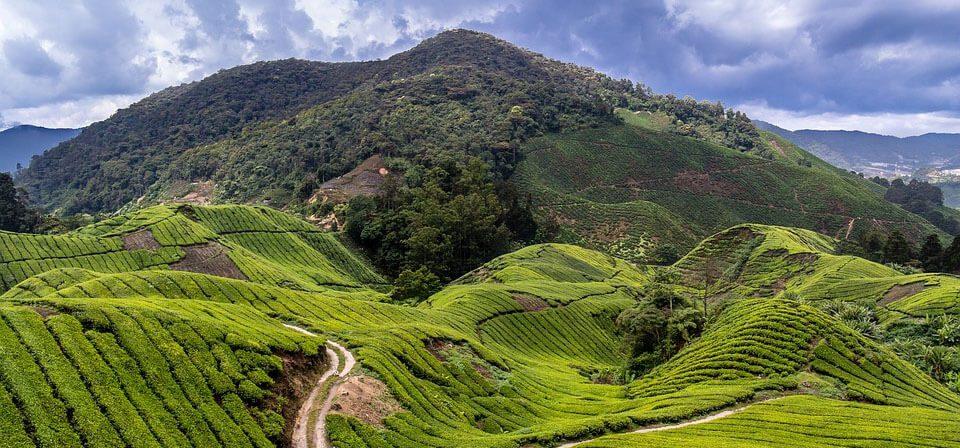 Sun shining on Tea plantations in Malaysia