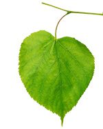 a heart shaped linden tree leaf