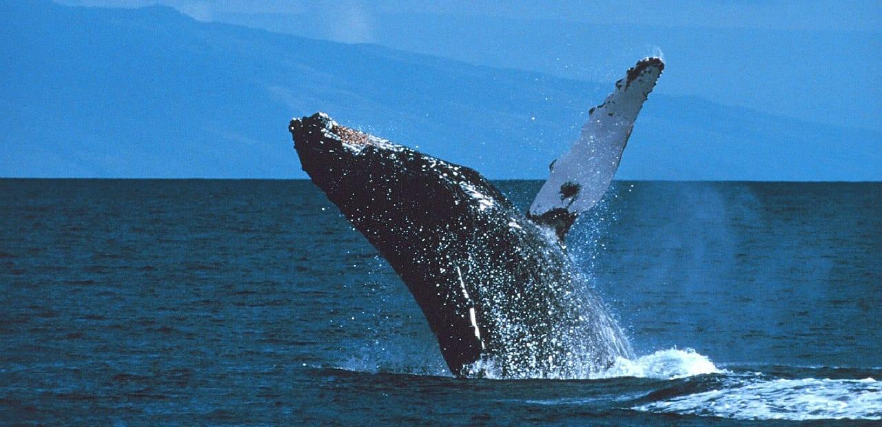 humpback-whale-edited