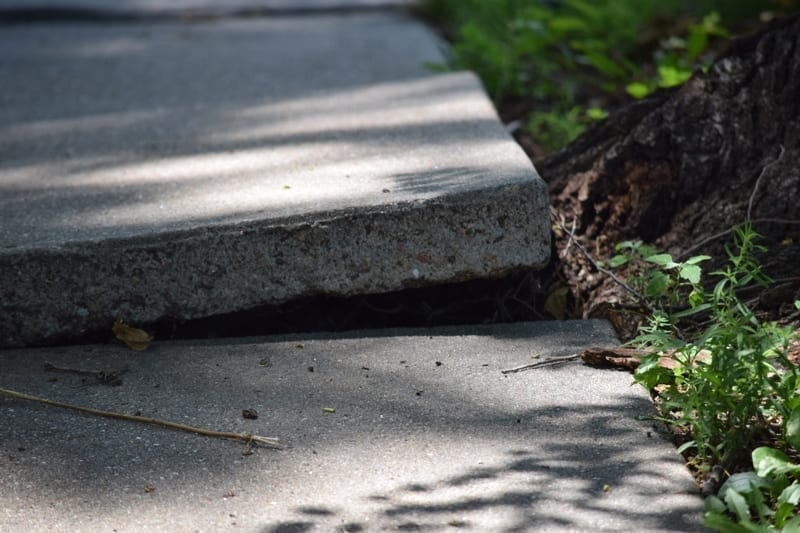 Sidewalk disheveled and damaged by tree roots.
