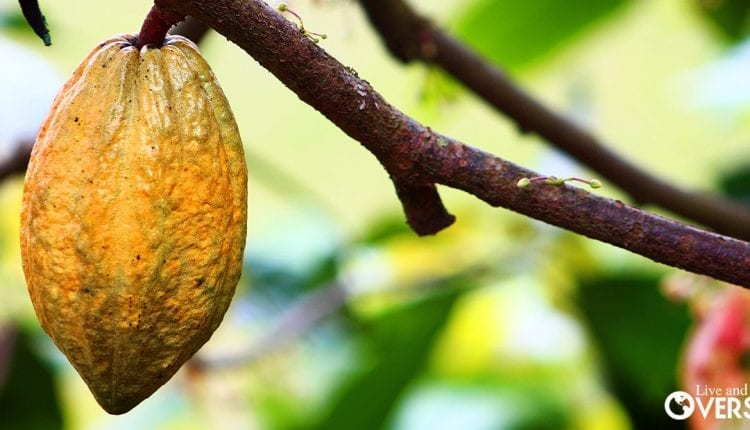 The industry of Cacao In Colombia can be really profitable