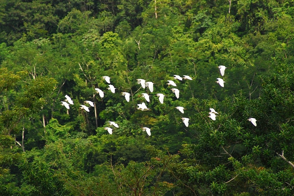 A cattle egret flock in flight Copyright: Michael Klotz