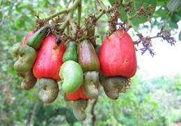 Cashewnuts hanging on a Cashew Tree