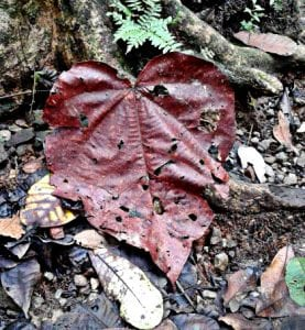 Heart Shaped Leaf in the Parque Metropolitano