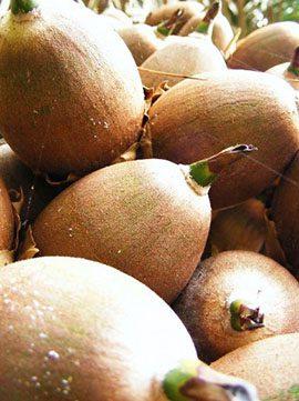Mayan Breadnut
