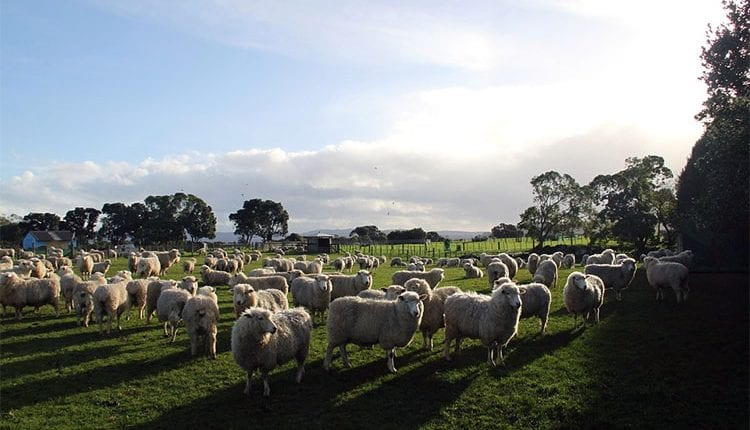 hungreds of sheep on a field
