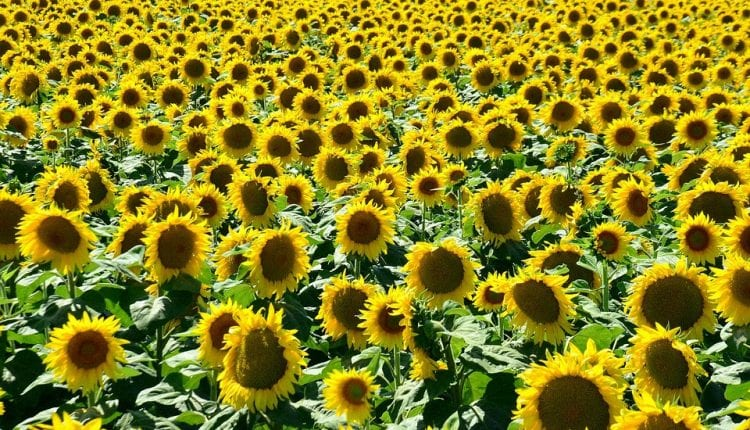 a vast field of sunflowers