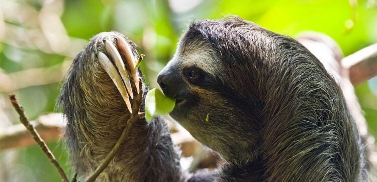 close frame picture of a sloth eating leaves from a branch in the rain forest canopy