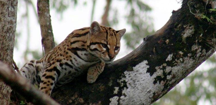 a striped cat, locally called a tigrillo, sitting on a tree branch
