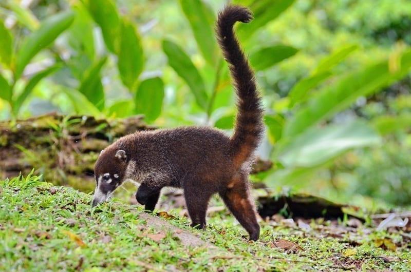 Beautiful coati walking on rainforest