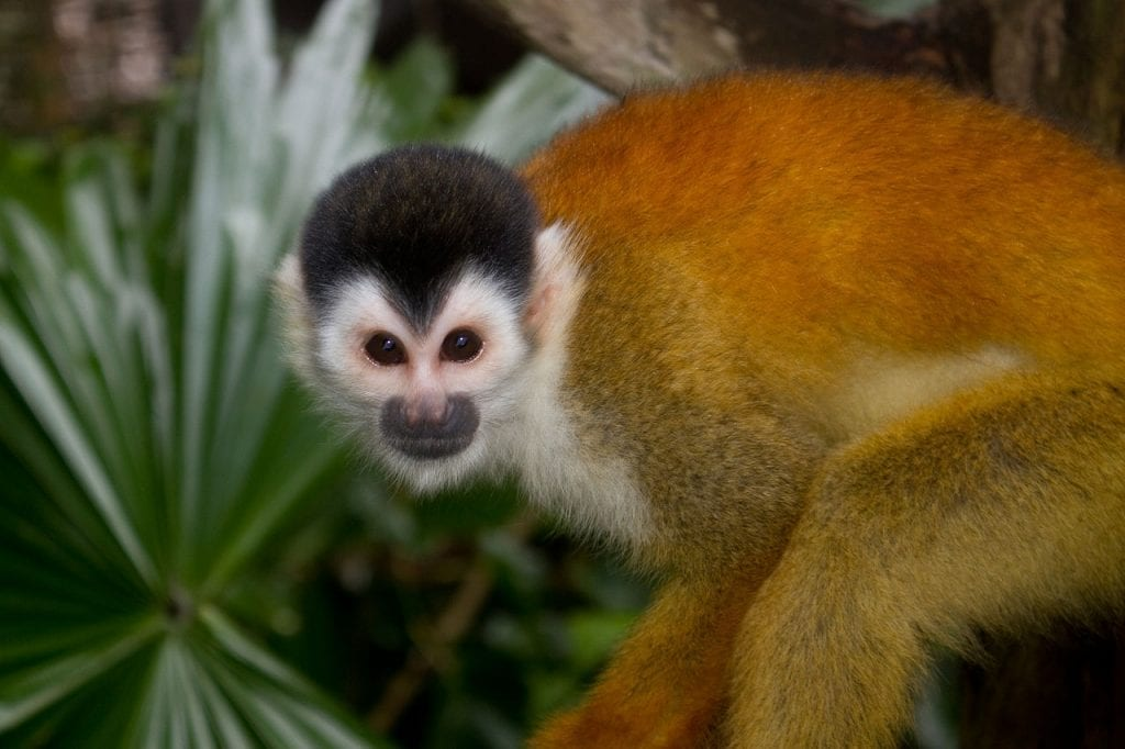 Panama Squirrell Monkey