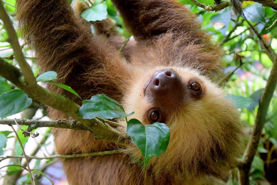 Ancon Hill Sloth