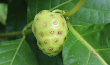 a noni fruit in panama