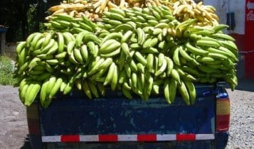 truck load of bananas panama