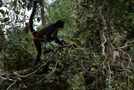 A Black Howler Monkey At Belize Zoo