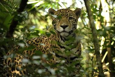 A Jaguar At Belize Zoo