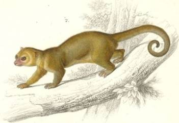 Drawing Of A Kinkajous