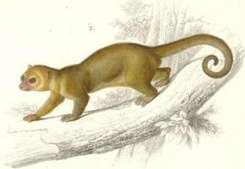 Drawing Of A Kinkajous