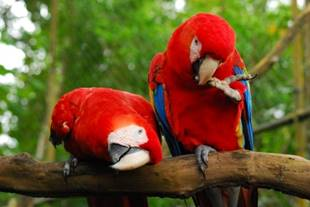 Scarlet Macaws At Belize Zoo