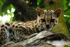 A Margay At Belize Zoo