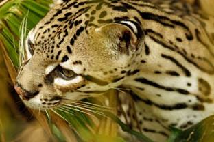 An Ocelot At Belize Zoo