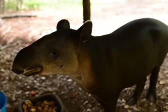 A ATapir At Belize Zoo