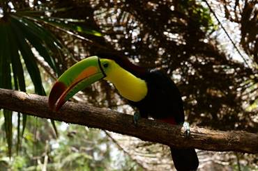A Keel-Billed Toucan At Belize Zoo