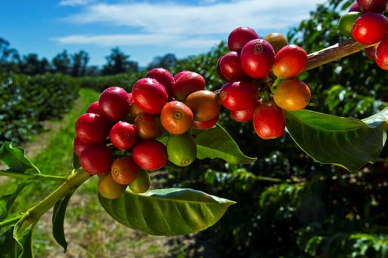 coffee beans growing outside in nature