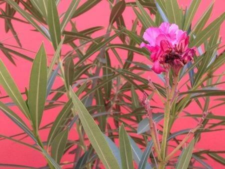 isla taboga flowers