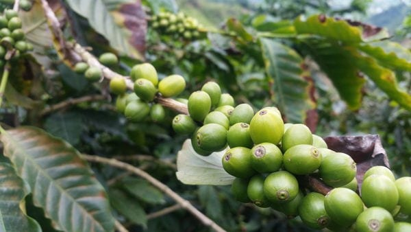 Green coffee beans on a branch in Colombia