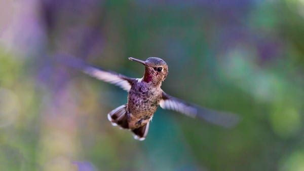 A hummingbird in flight, Colombia