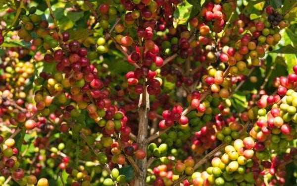 Coffee plant growing coffee beans