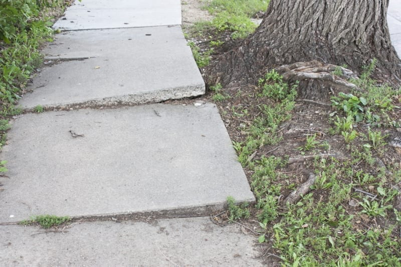 Sidewalk disheveled by tree roots.