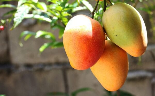 mangos on a tree growing