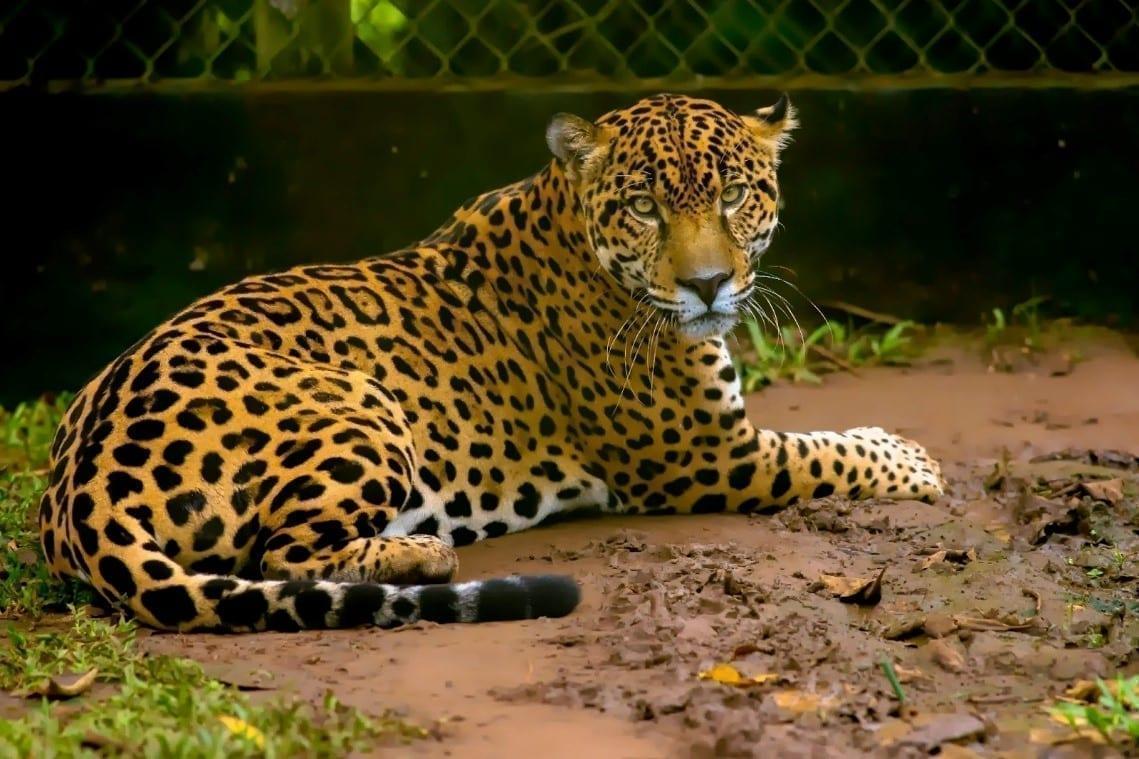 jaguar panama