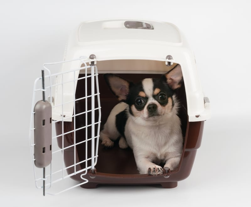 Chihuahua traveling to Panama in open pet carrier