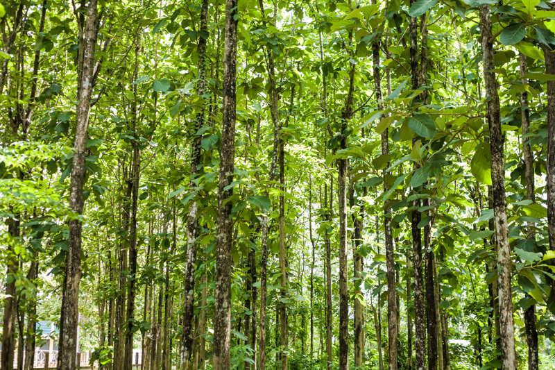 teak trees growing