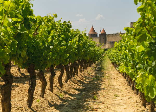 vineyard france near carcassone